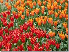 04 tulipani