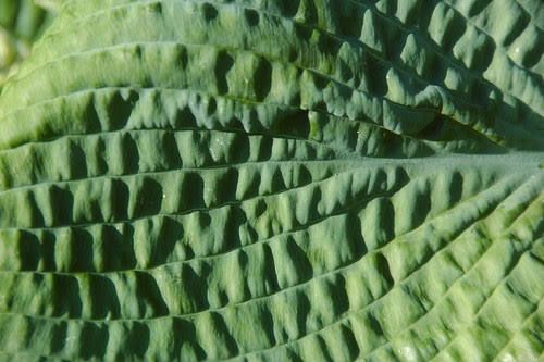 Corrugated (Hosta)