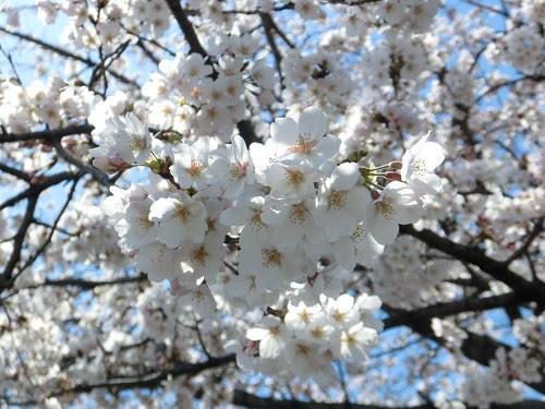 2012年4月10日 桜