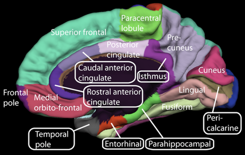 File:Medial surface of cerebral cortex - gyri.png