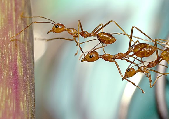 Ant teamwork: a collective system in action. (Image Credit: Budzlife, image unaltered, CC2.0)