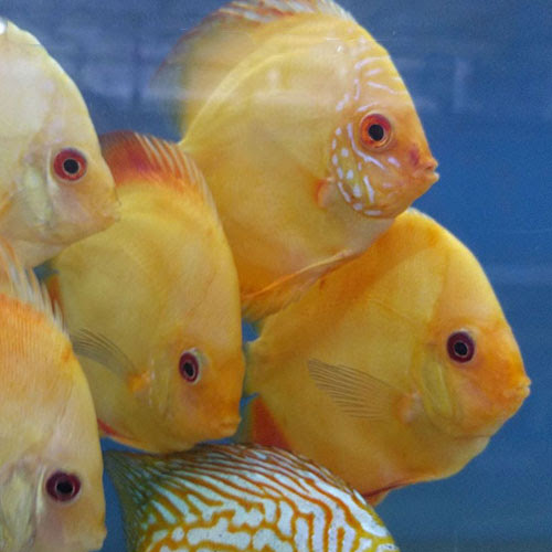 Yellow Crystal - Wattley Discus