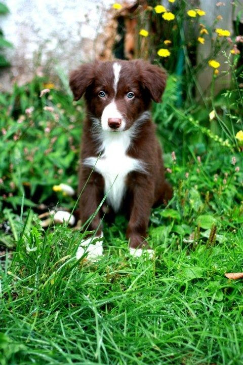 Red & White Border Collie puppy