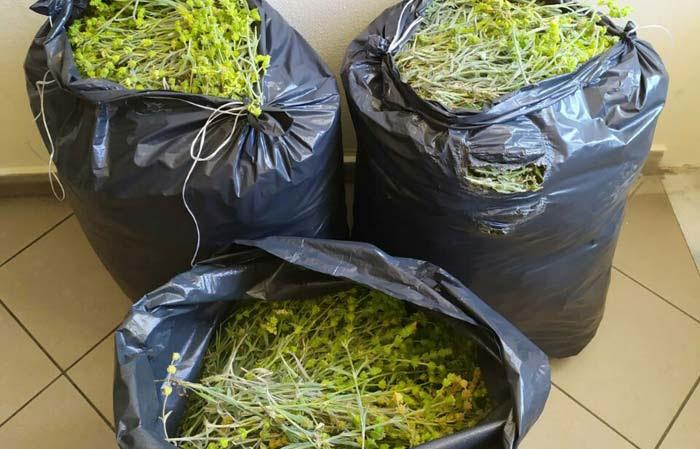 Θεσπρωτία: Συνελήφθησαν για παράνομη κοπή αρωματικών φυτών