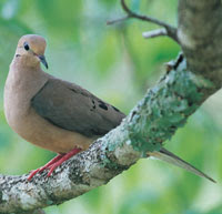 Mourning Dove - Photography by Phillip Jones