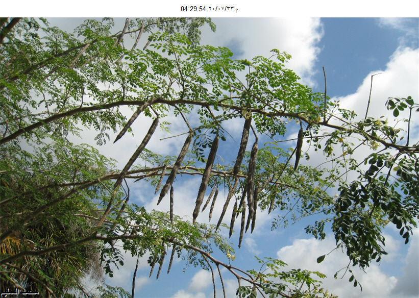 شجرة المورينجا الشجرة المعجزة Shajara