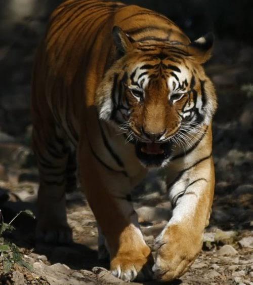 El deseo de un tigre por aparearse lo hace recorrer muchos kilómetros