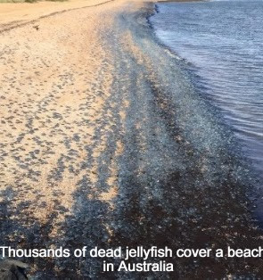 Dead Jellyfish in Australia