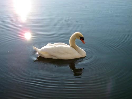 Swan in Zurich