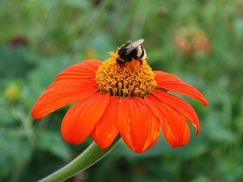 File:Bumblebee on Echinacea Flower.JPG
