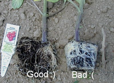 How Deep Should Tomato Plants Be Planted | Cromalinsupport