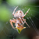 Orb-weaver spider with a Treehopper