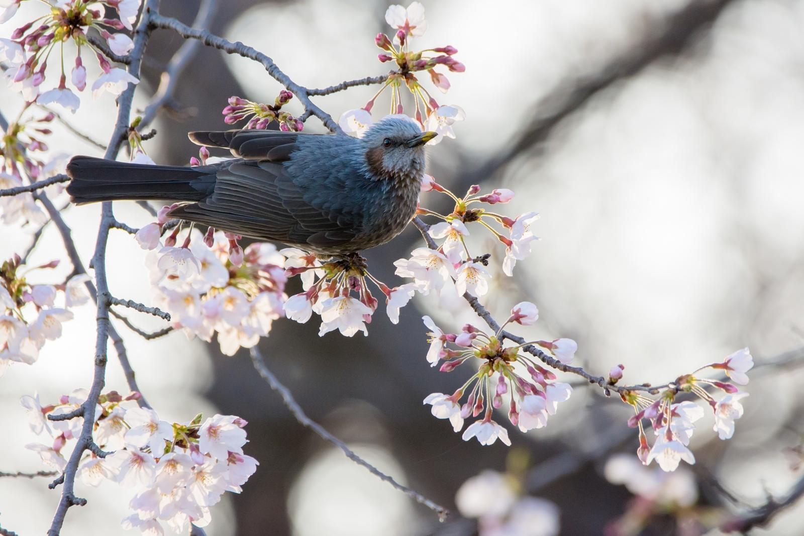 Photo: 「春の光」 / Spring shine.  待ちわびた光 喜びの光 世界が春の光に 包まれていく  Brown-eared Bulbul. (ヒヨドリ)  Nikon D7200 SIGMA 150-600mm F5-6.3 DG OS HSM Contemporary  #birdphotography #birds #kawaii #小鳥 #nikon #sigma #小鳥グラファー  ( http://takafumiooshio.com/archives/1375 )