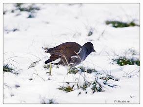 Photo: Teichhuhn in der Wiese, sucht nach Futter