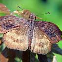 Hesperiid butterfly