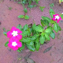 Pink flower with white center