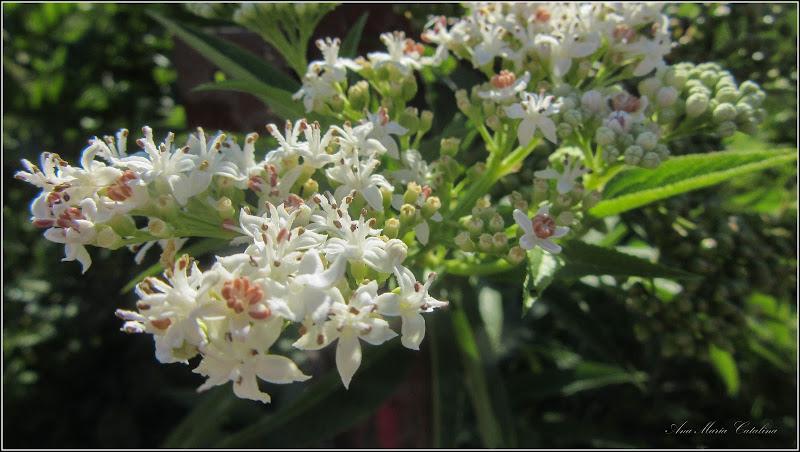 Photo: Floare de boz (Sambucus ebulus) - de pe Str. Cheii - 2017.07.18 Album diverse http://ana-maria-catalina.blogspot.ro/2017/05/plante-diverse-din-comert.html