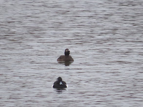 Photo: 18 Jan 14 Priorslee Lake Shows rather more bulk than the Tufted Duck but not obviously larger as I had expected. (Ed Wilson)