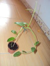 Photo: Hoya coronaria Giant