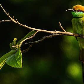 Bee Eater by Shivaang Sharma - Novices Only Wildlife ( bird, nature, tree, bee, avian, wildlife, india, leaf, eater )