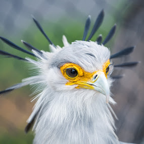 Secretary Bird by Clifford Swall - Animals Birds ( san diego zoo, crowned bird, secretary bird, quilled bird, feathered bird )