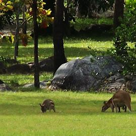 Kangaroos by Sarah Harding - Novices Only Wildlife ( kangaroo, nature, outdoors, novices only, wildlife,  )