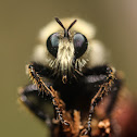 Bee Mimic Robberfly