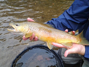 Photo: Gorgeous brown from the Mad River in Ohio!