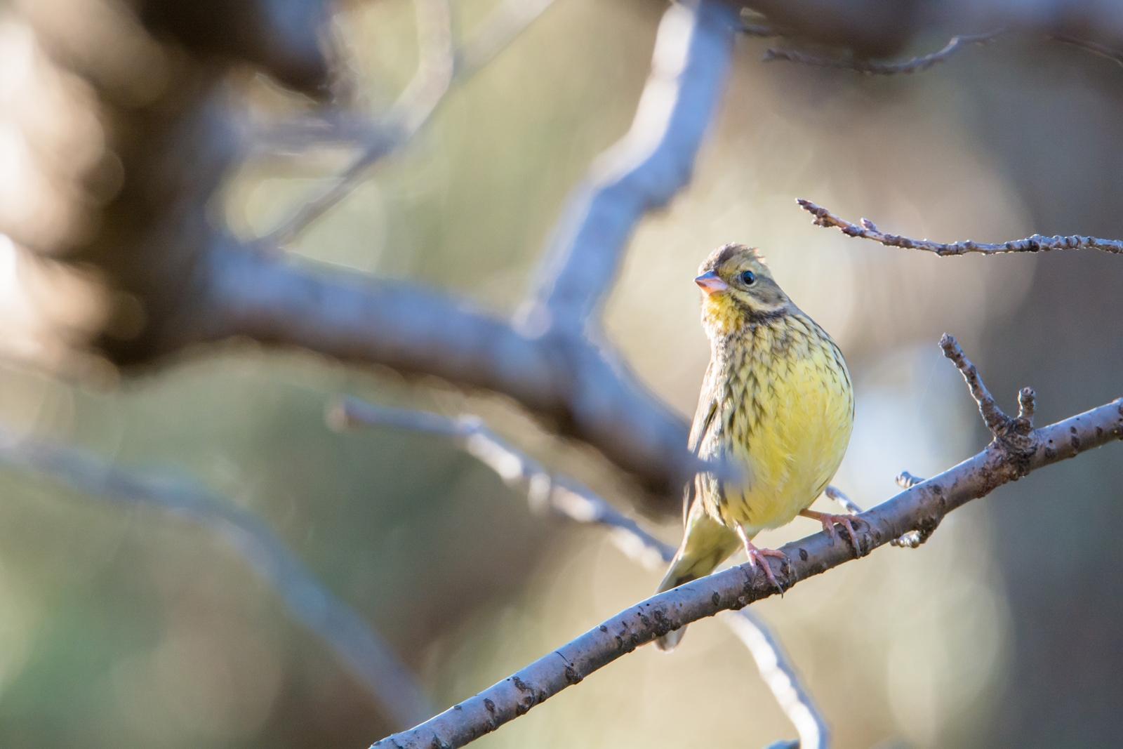 Photo: 光りの射す森 Light shines forest  冬の森 遮るものが無くなり 光りは奥深くへと 物静かな住人が 活き活きと動き出す  Black-faced bunting. (アオジ) #cooljapan #365cooljapanmay #birdphotography #birds #kawaii Nikon D7100 SIGMA 150-600mm F5-6.3 DG OS HSM Sports [ Day242, January 9th ] (2枚追加:Added 2 photo)
