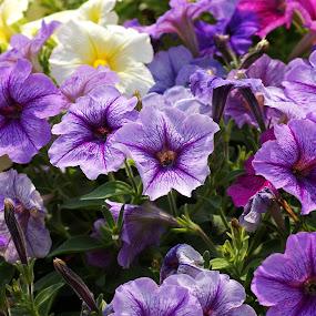 Color of Petunia by Mulawardi Sutanto - Flowers Flower Gardens ( travel, petunia, nusantara, park, flower )