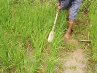 Photo: Weeding using a locally-made weeder in Bhutan.  [Photo courtesy of Kharma Lhendup, Bhutan, 2008]