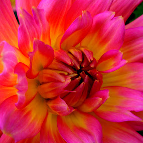 Pink/Yellow flower by Peggy LaFlesh - Flowers Single Flower ( pink, yellow, flower )