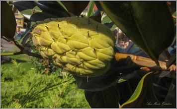 Photo: Turda - Piaţa 1 Decembrie 1918, Magnolia grandiflora - 2019.09.16