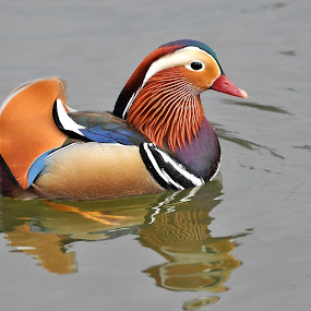 Mandarin Duck by Ita Martin - Animals Birds ( mandarin duck, bird.,  )