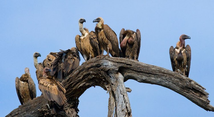 Predatory birds are sitting on a tree.