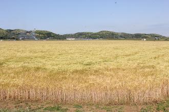Photo: 5月上旬 深江田原の大麦畑