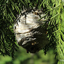 Yellow jacket wasp nest