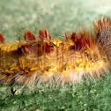 Blue Morpho caterpillar