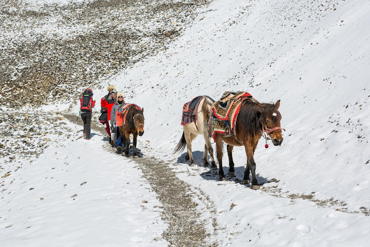 Sherpas herd horses down a mountain pass at Annapurna circuit trek in Thorong La, Nepal. Picture: 123RF/ANZEBIZJAN