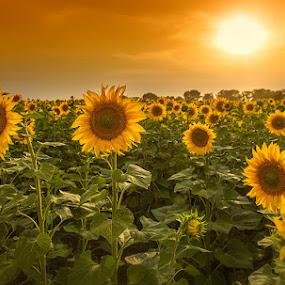 Sun and Sunflowers by Abdul Rehman - Landscapes Sunsets & Sunrises ( farm, pakistan, natural light, sky, nature, sunny, sunset, summer, sunflower, sunshine, sunlight,  )