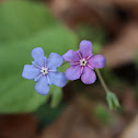 Blue-eyed-Mary