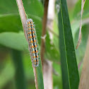Cattail Caterpillar Moth