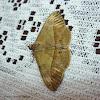 Velvetbean Moth