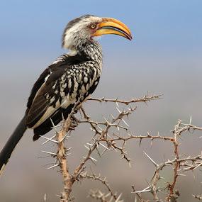 Yellow billed hornbill by Johann Harmse - Animals Birds ( hornbill, bird, perched, yellow billed hornbill, south africa,  )