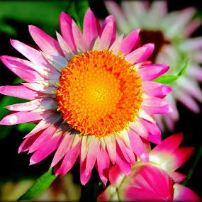 Calendula... by Sannit Hazra - Nature Up Close Flowers - 2011-2013