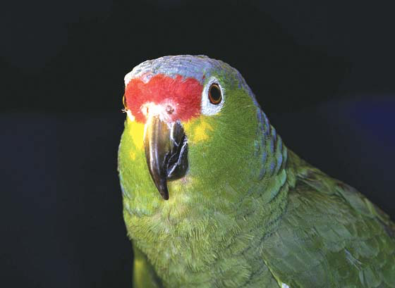 Normal lilac-crowned Amazon fed an organic formulated diet