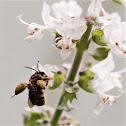Mandaçaia Bee