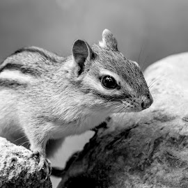 Chipmunk by Debbie Quick - Black & White Animals ( debbie quick, nature, adirondacks, debs creative images, new york, chippy, outdoors, mammal, ticonderoga, chipmunk, rodent, animal, black and white, wild, wildlife )