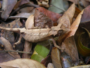 Photo: Tiny cameleon hiding in the forest leaves