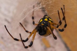 Photo: A beautiful orb-spider; Uma bela aranha.
